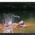 天鵝與鴨子