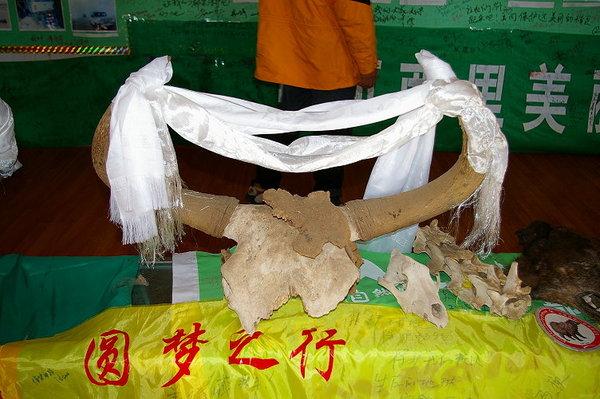 藏羚羊博物館