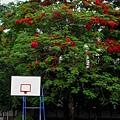 籃球場, 鳳凰木