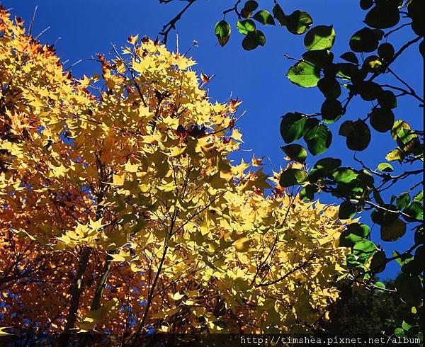 初秋的金黃