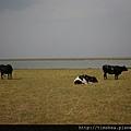 河邊  牛群