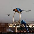 飯店大廳養的藍金剛鸚鵡