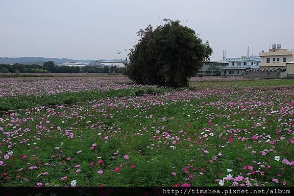蘆竹花海10