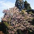 阿里山 櫻花