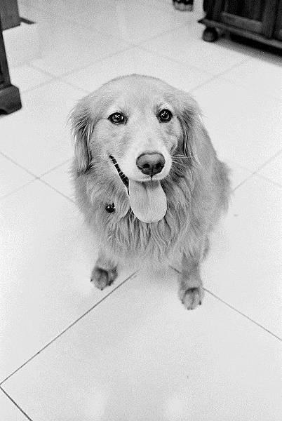 素鳳養的狗狗
