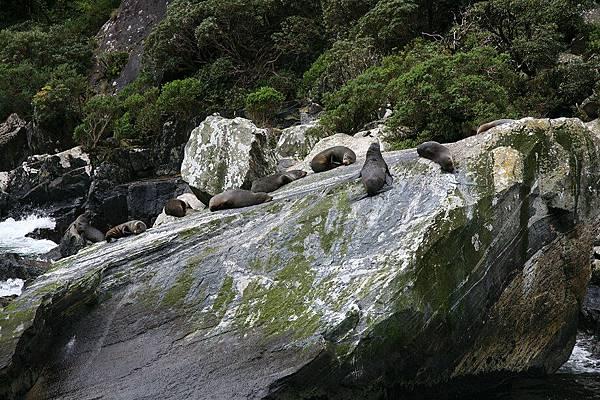 米佛峽灣  海豹