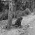 松柏嶺的獼猴