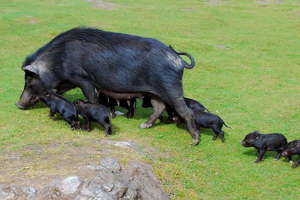 巴松措的豬