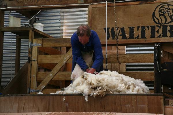 農莊  剪羊毛