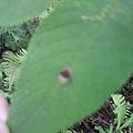 二星龜金花蟲 2