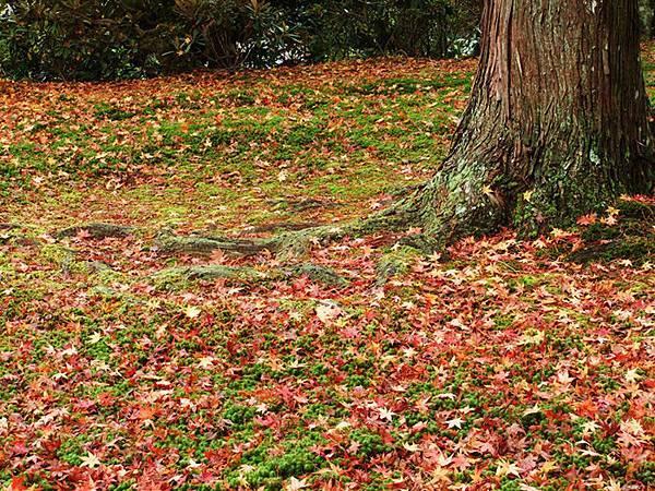 20花地毯一般的落葉.jpg