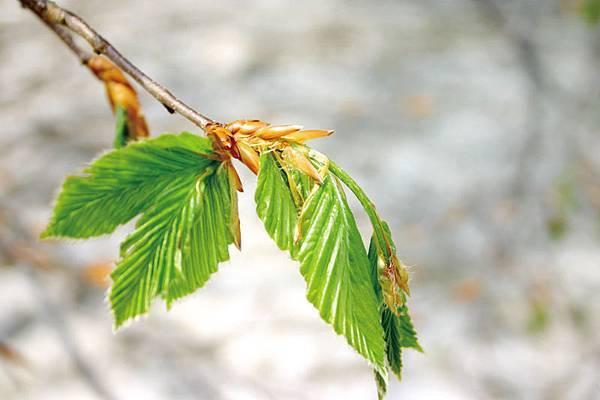 007 白神山地 二ツ森 ブナの葉.jpg