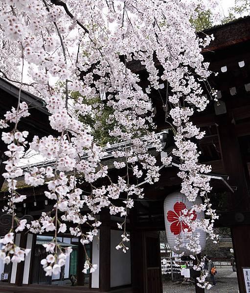 平野神社-魁-9.JPG