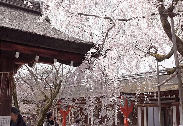 平野神社-魁-7.JPG