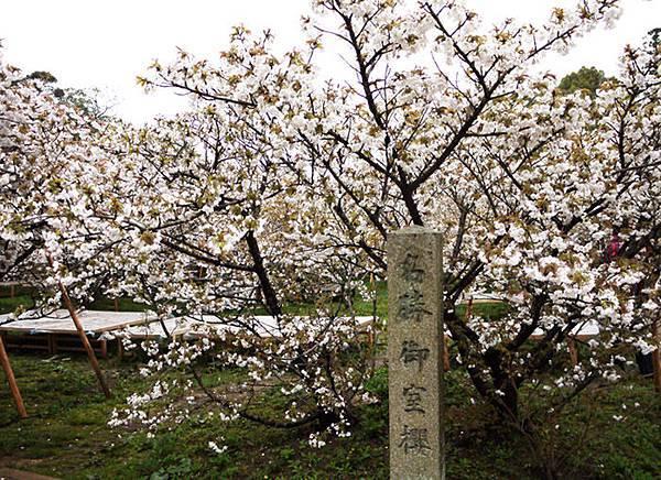 仁和寺的御室櫻.JPG