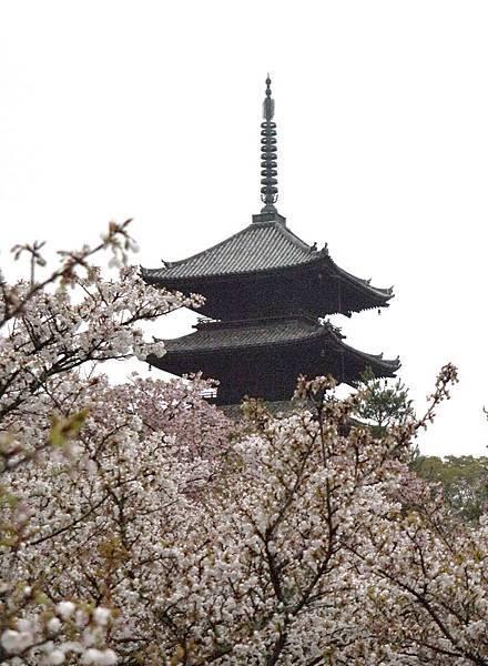 仁和寺的御室櫻.長的矮矮的.JPG