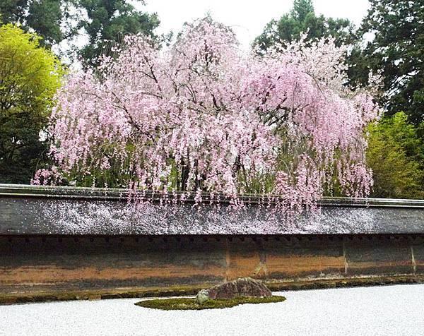 枯山水聞名的龍安寺也有櫻花.JPG
