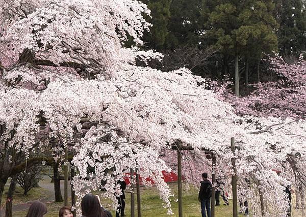 醍醐寺三寶院-櫻花開的像瀑布.就是這種.JPG