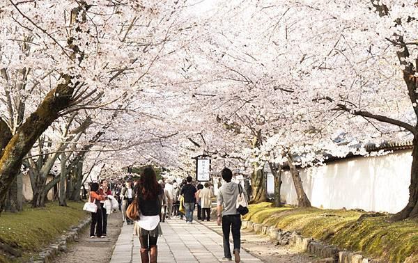 漫天的櫻花.JPG
