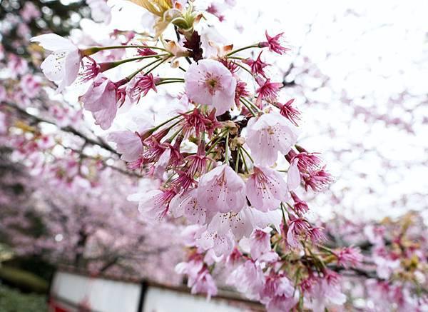 醍醐寺三寶院-這種粉嫩真是賞心悅目阿.JPG