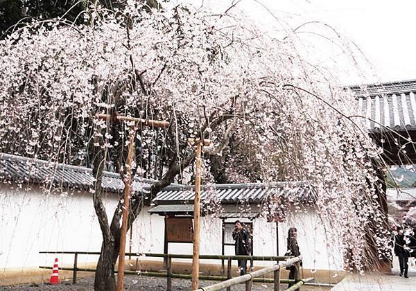 醍醐寺參道的櫻花.JPG
