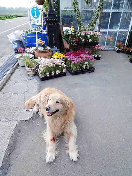北海道的幸福狗狗