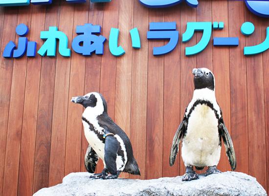 ふれあい・ペンギン企鵝