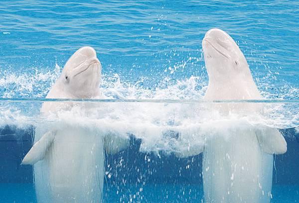 シロイルカ白海豚