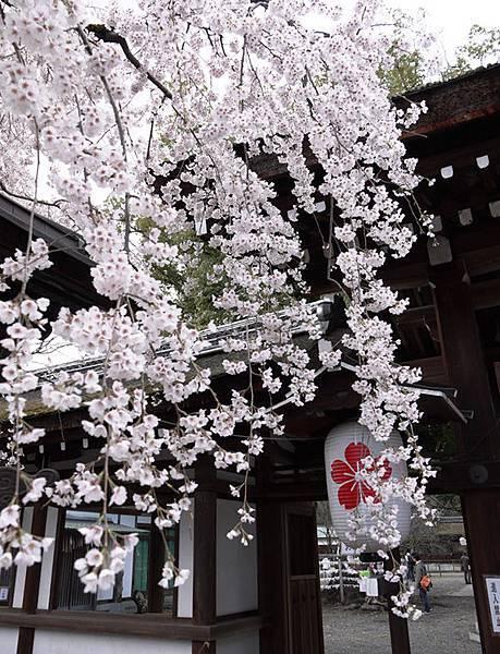 平野神社-2010-1