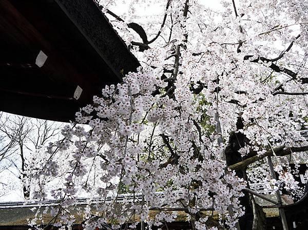 平野神社-2010-2