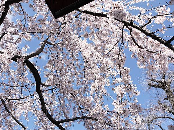 平野神社-2010-3