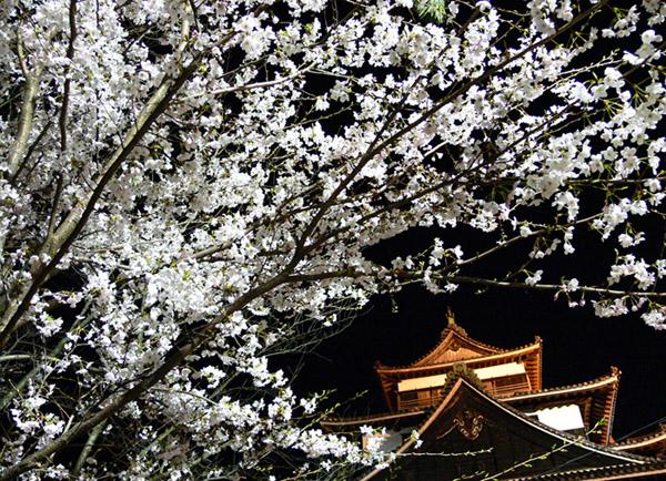 桜3 Cherry Blossoms 3松江出雲國際觀光推進協議會