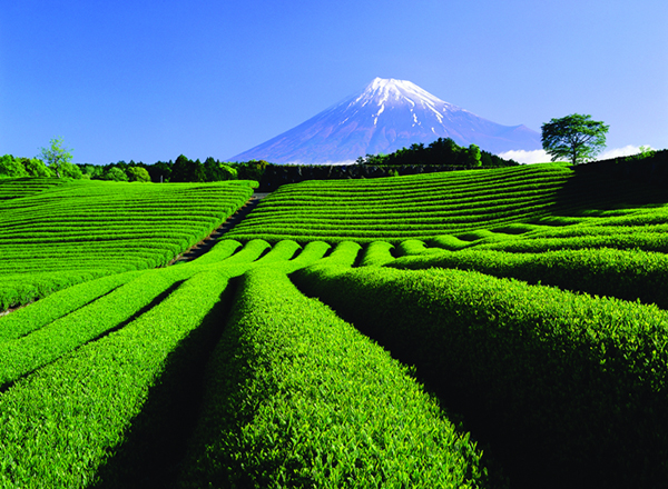富士山和茶田