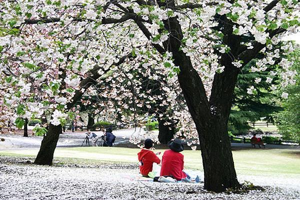 新宿御院-櫻花樹下.jpg