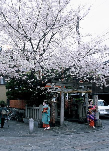 櫻花樹下的藝妓.JPG