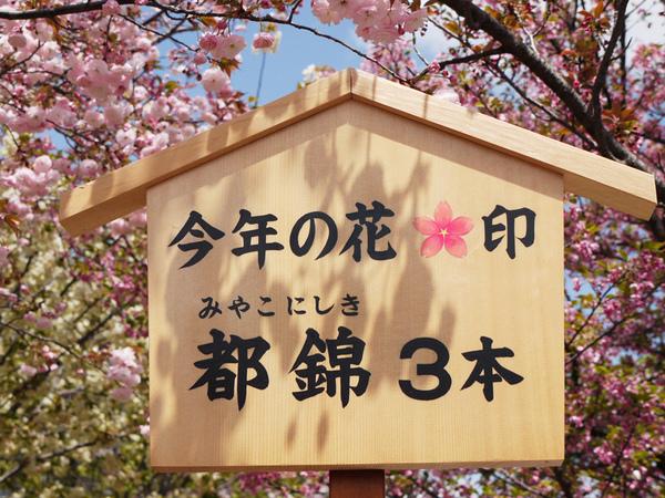 大阪造幣局今年之花.JPG