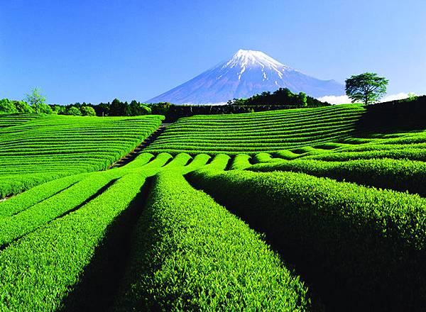 富士山和茶田.jpg