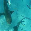 鯊魚....