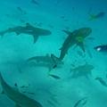 在鏡頭裡至少有7隻鯊魚