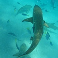 鯊魚城...
