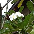 帛琉的國花,俗稱雞蛋花