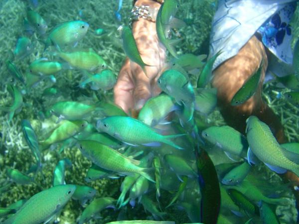藍色珊瑚礁餵魚