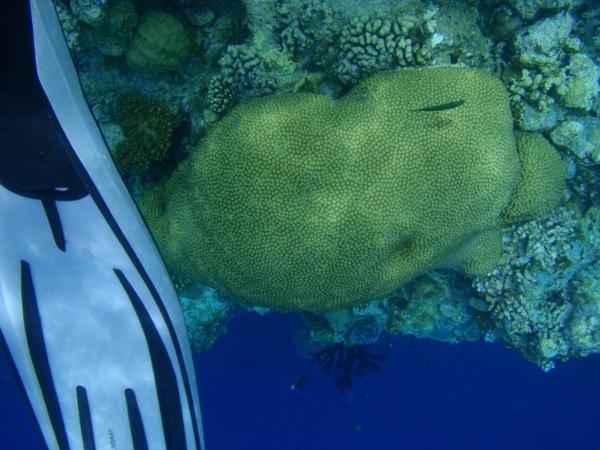 大斷層的饅頭珊瑚