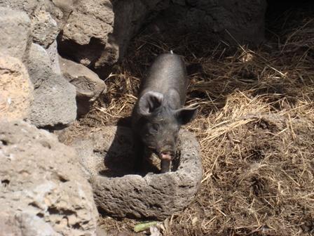 可愛小黑豬