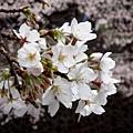 遇到櫻花盛開的季節