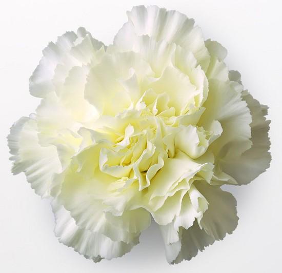 120320白色康乃馨