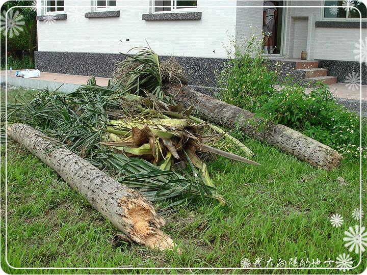 屋後的椰子樹終於砍掉了.jpg