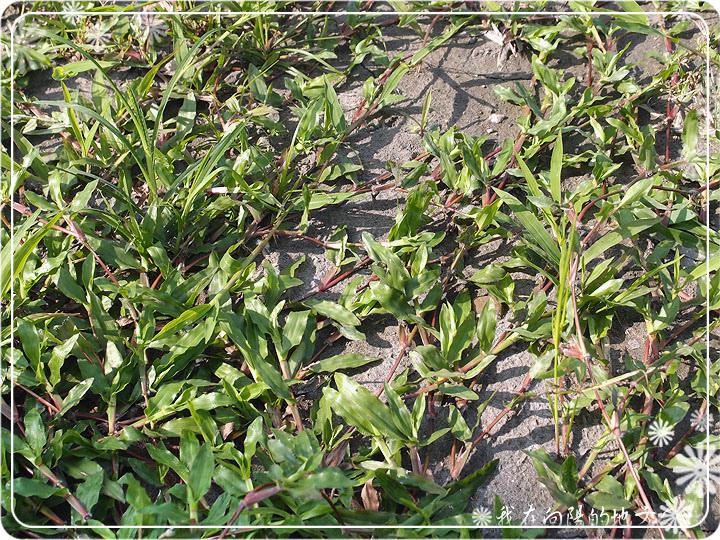 地毯草_3.jpg
