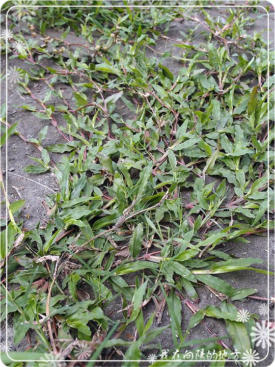 地毯草_2.jpg