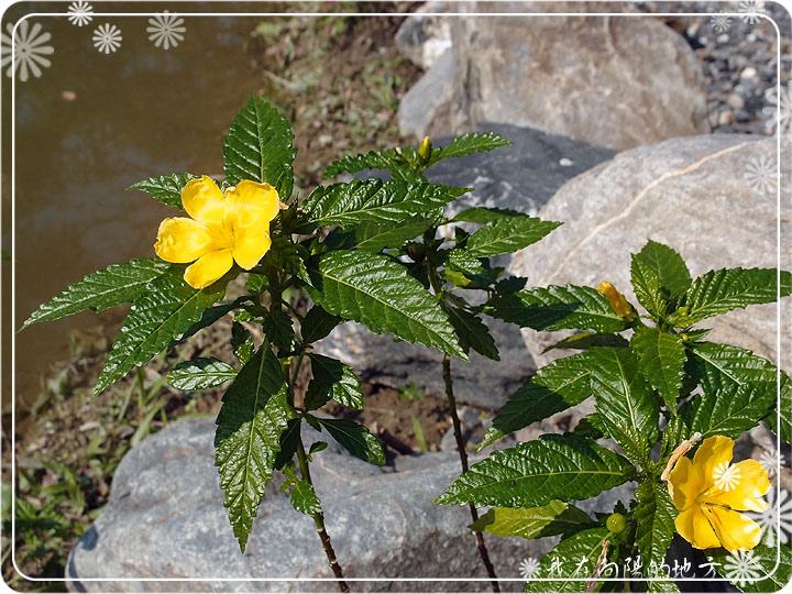 池畔小黃花.jpg